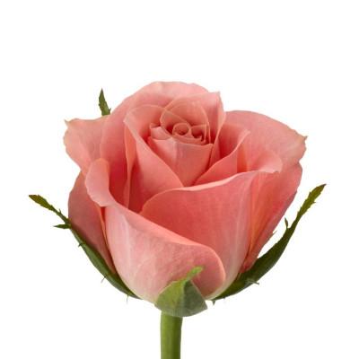 Роза Кенийская 50 см